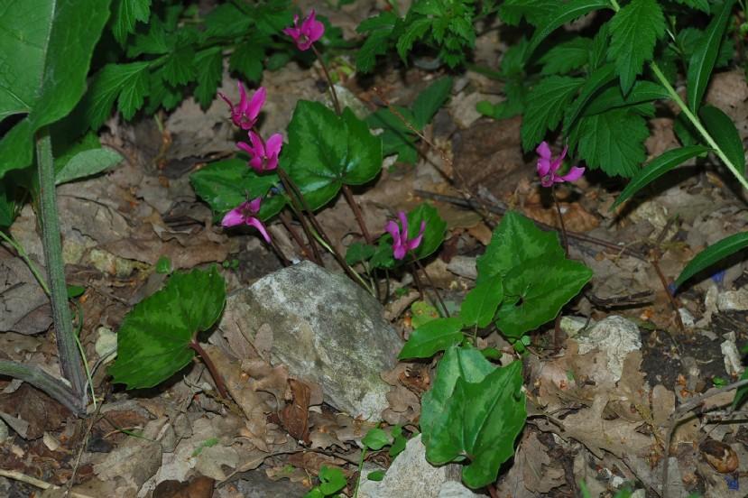 Cyclamen repandum subsp. repandum 12