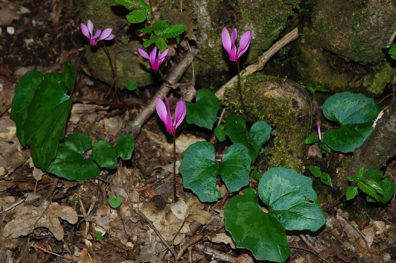 Cyclamen repandum subsp. repandum 13