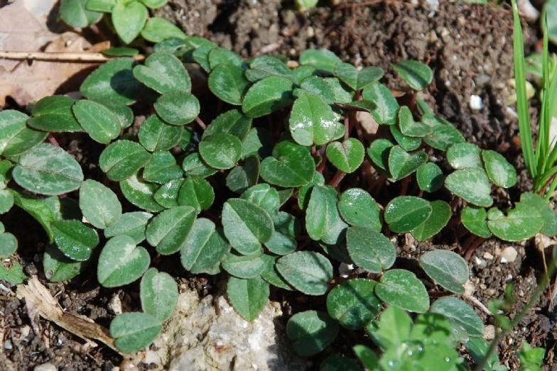Cyclamen repandum subsp. repandum 5