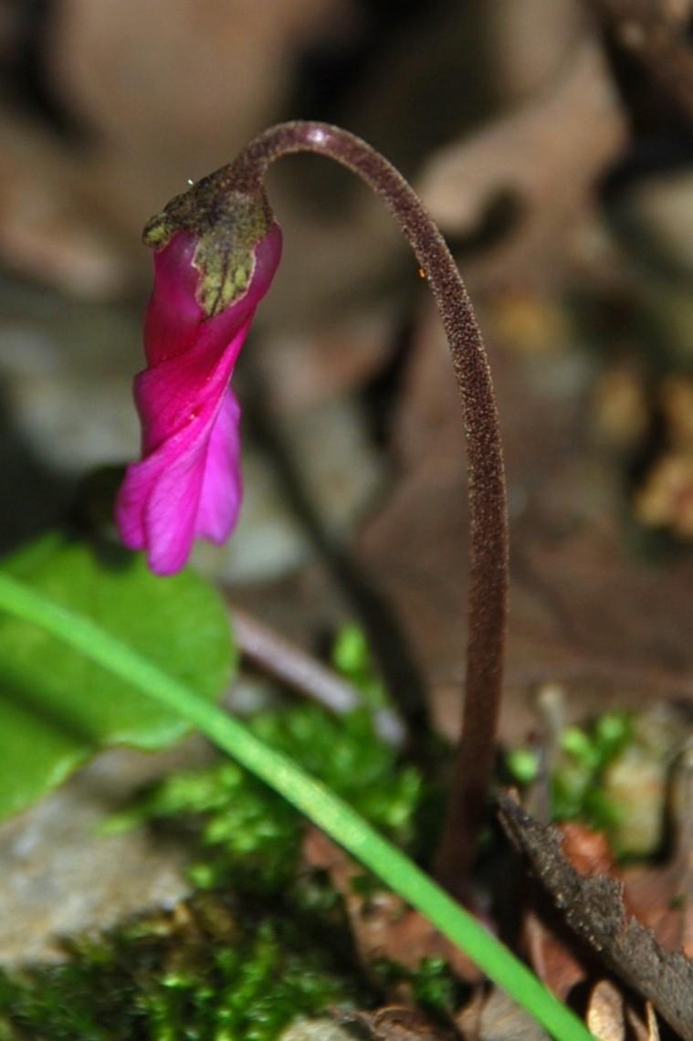Cyclamen repandum subsp. repandum 8
