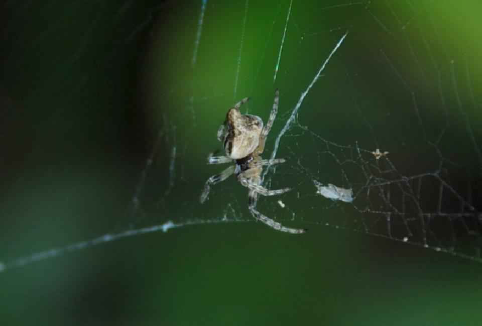 Cyclosa conica - Araneidae
