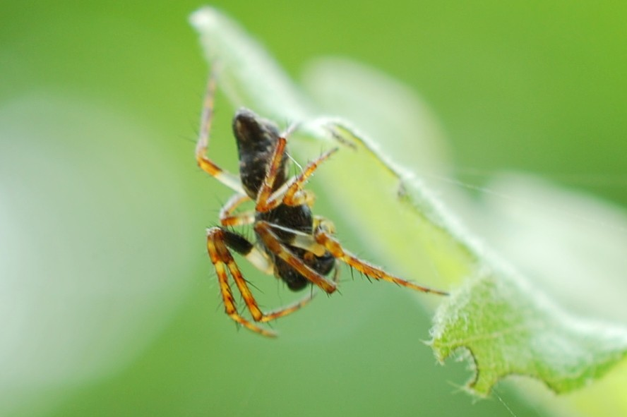 Cyclosa insulana - Araneidae