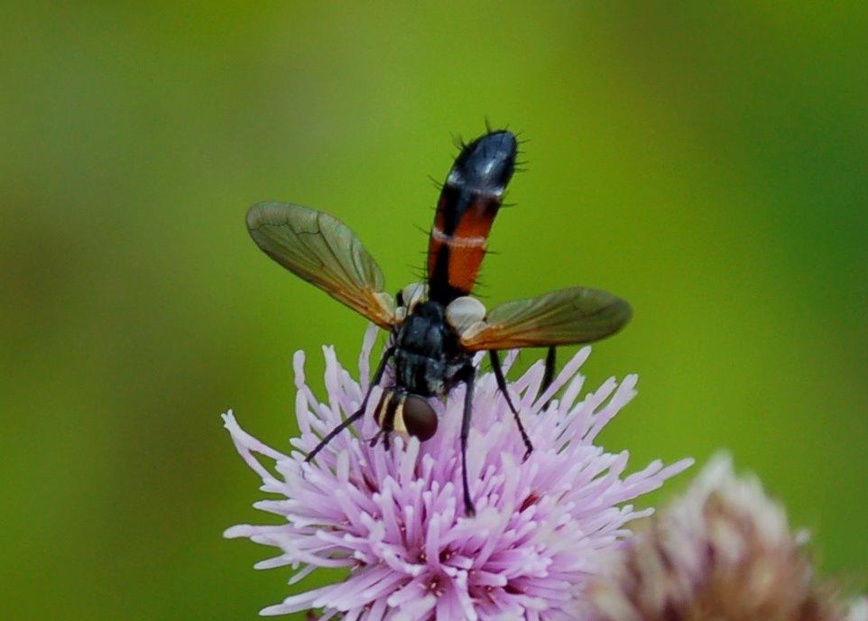 Cylindromyia sp. - Tachinidae