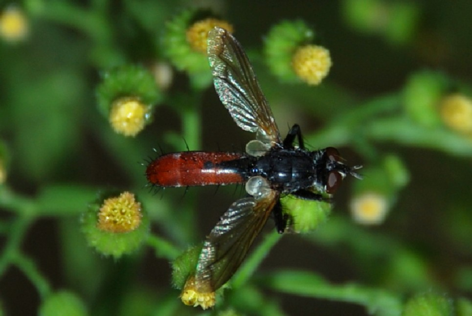 Cylindromyia sp. - Tachinidae 3