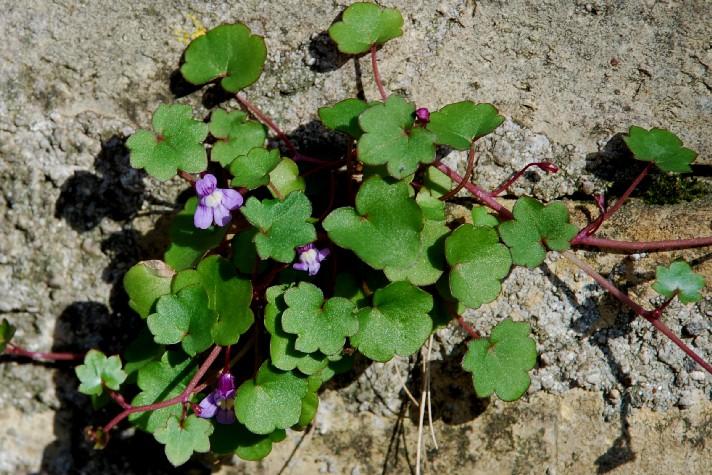 Cymbalaria muralis subsp. muralis