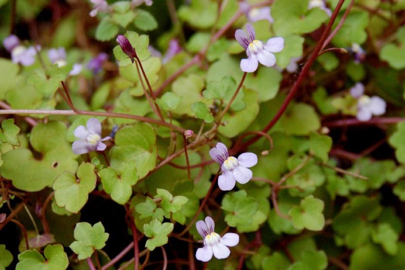 Cymbilaria muralis subsp. muralis