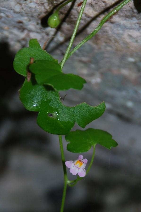 Cymbilaria muralis subsp. muralis 5