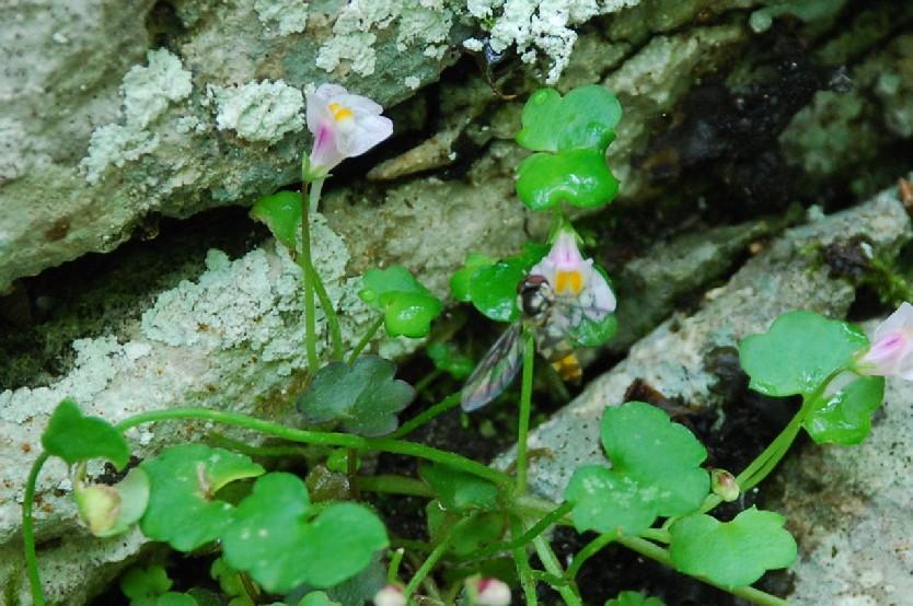 Cymbilaria muralis subsp. muralis 6
