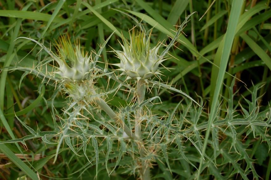 Cynara cardunculus subsp. cardunculus 4