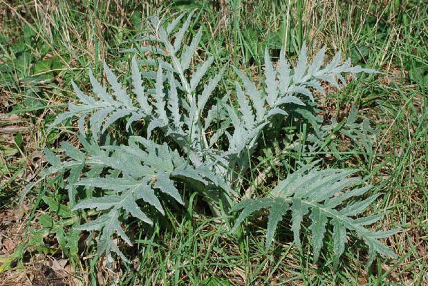 Cynara cardunculus subsp. scolymus