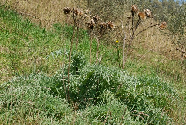 Cynara cardunculus subsp. scolymus 2