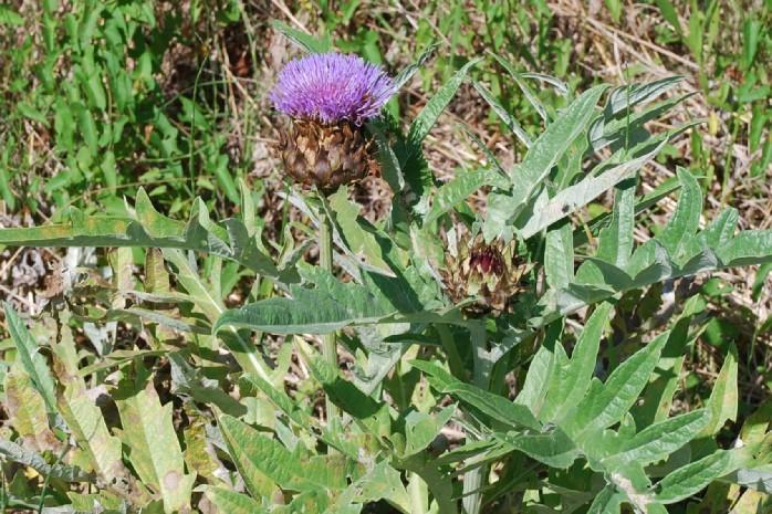 Cynara cardunculus subsp. scolymus 5