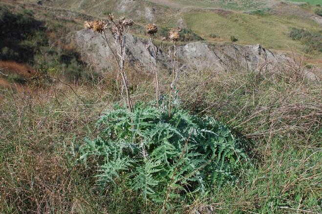 Cynara cardunculus subsp. scolymus 8