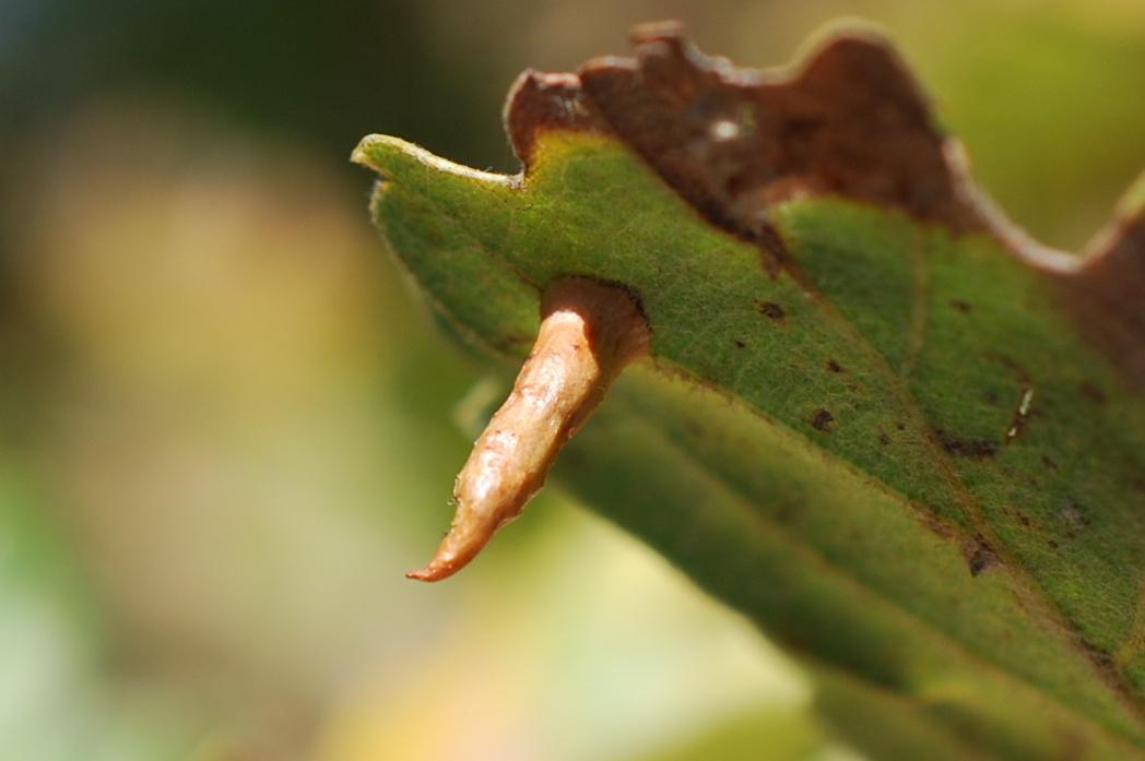 Cynips cornifex - Hymenoptera, Cynipidae