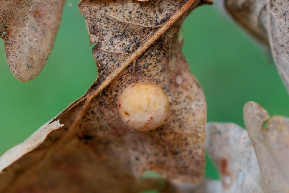Cynips quercusfolii - Himenoptera, Cynipidae