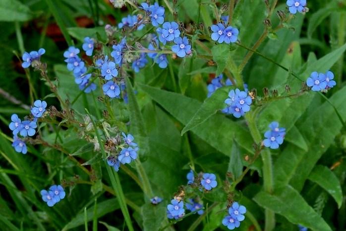 Cynoglottis barrelieri subsp. barrelieri