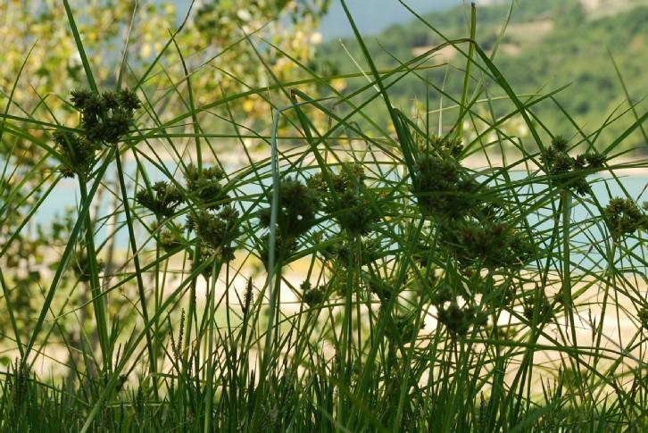 Cyperus eragrostis 20
