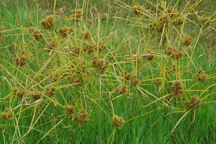 Cyperus eragrostis 24