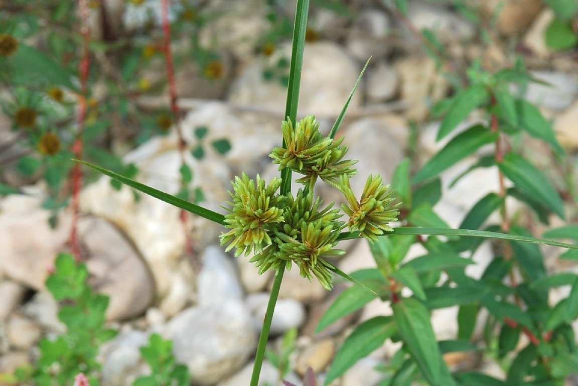 Cyperus eragrostis 27