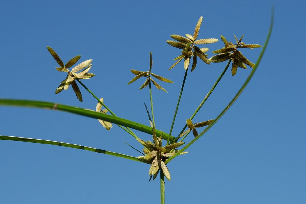 Cyperus flavescens 10