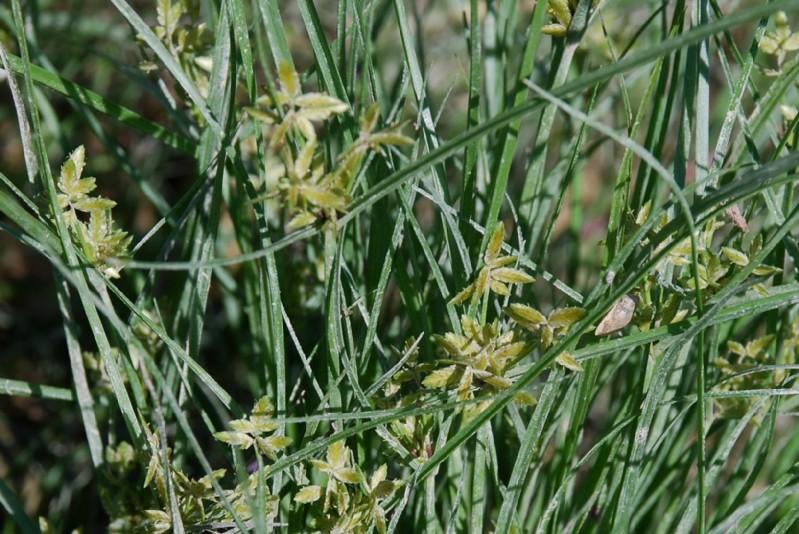 Cyperus flavescens 11