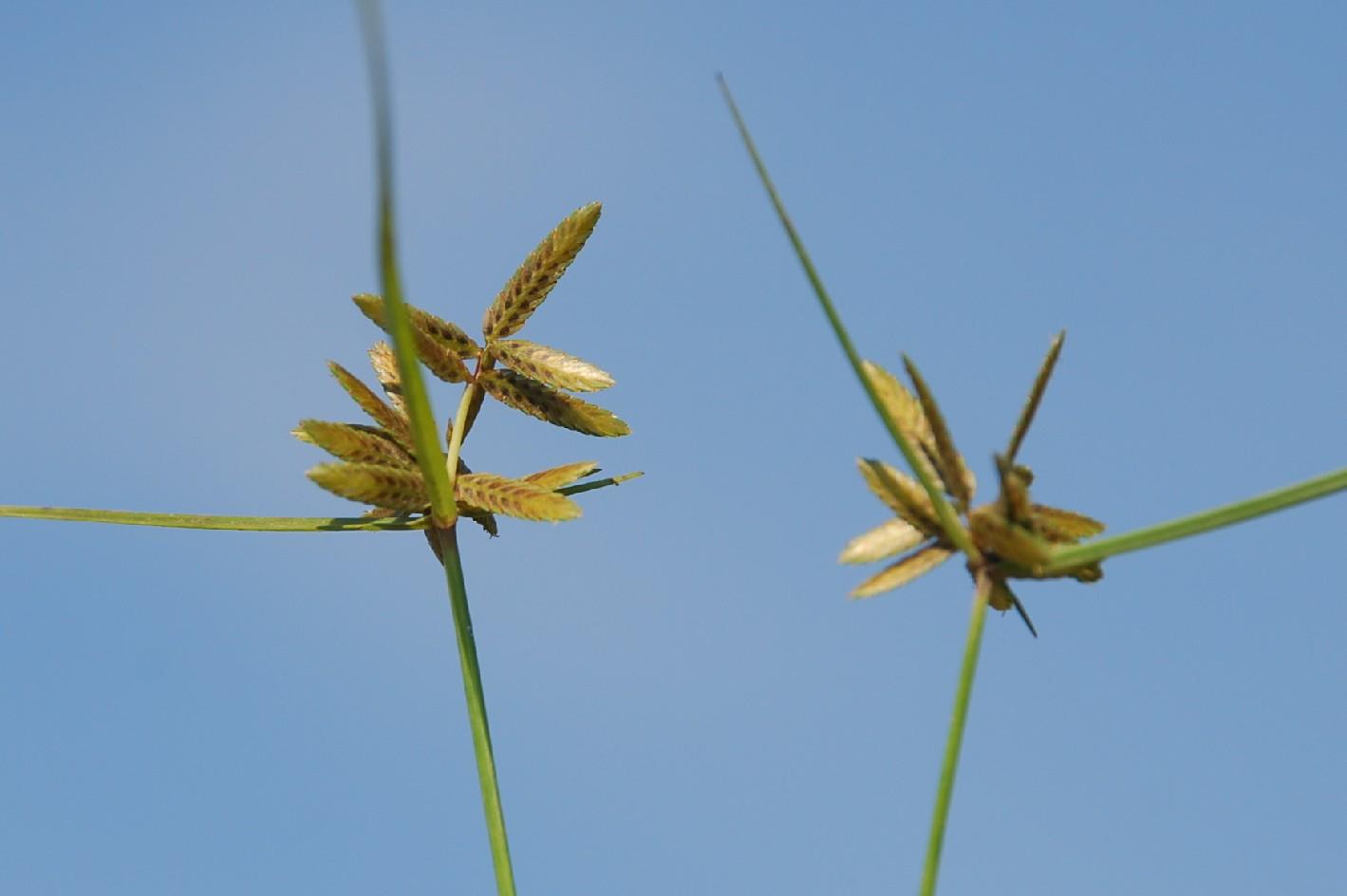 Cyperus flavescens 2
