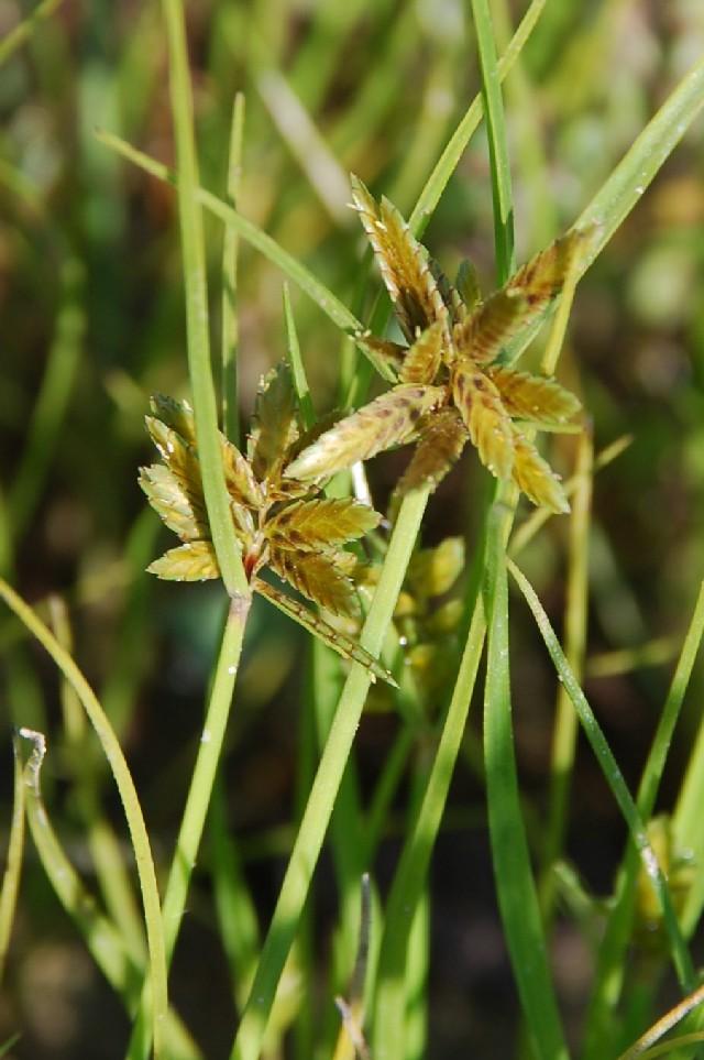 Cyperus flavescens
