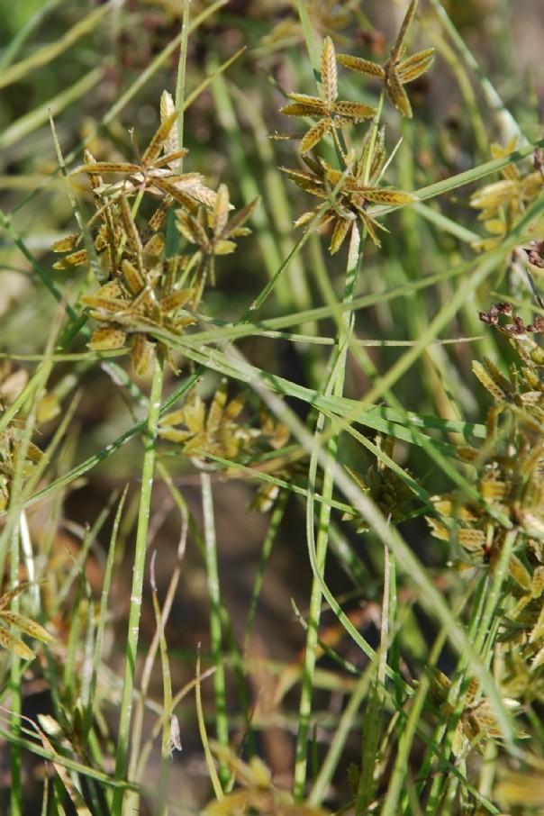 Cyperus flavescens 5