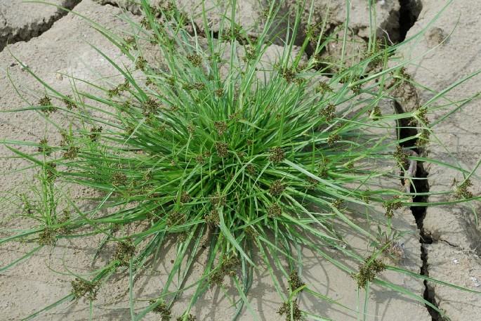 Cyperus fuscus 18