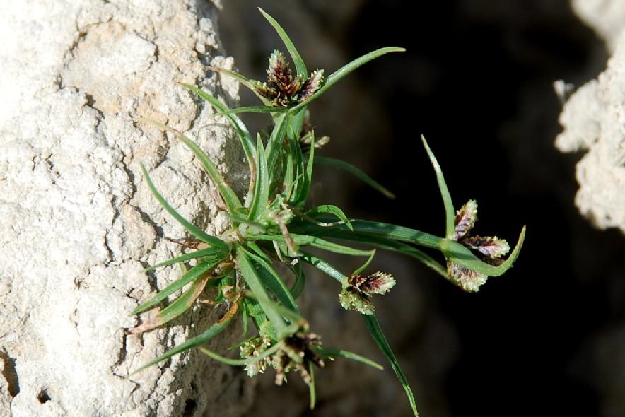 Cyperus fuscus 22