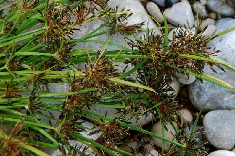 Cyperus fuscus 25