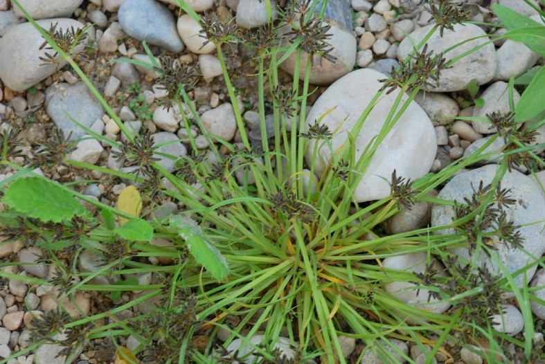 Cyperus fuscus 9