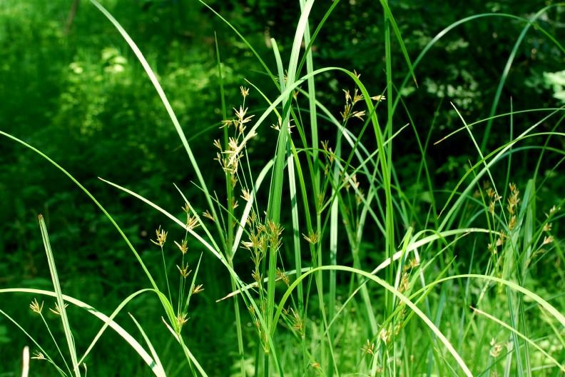 Cyperus longus subsp. longus