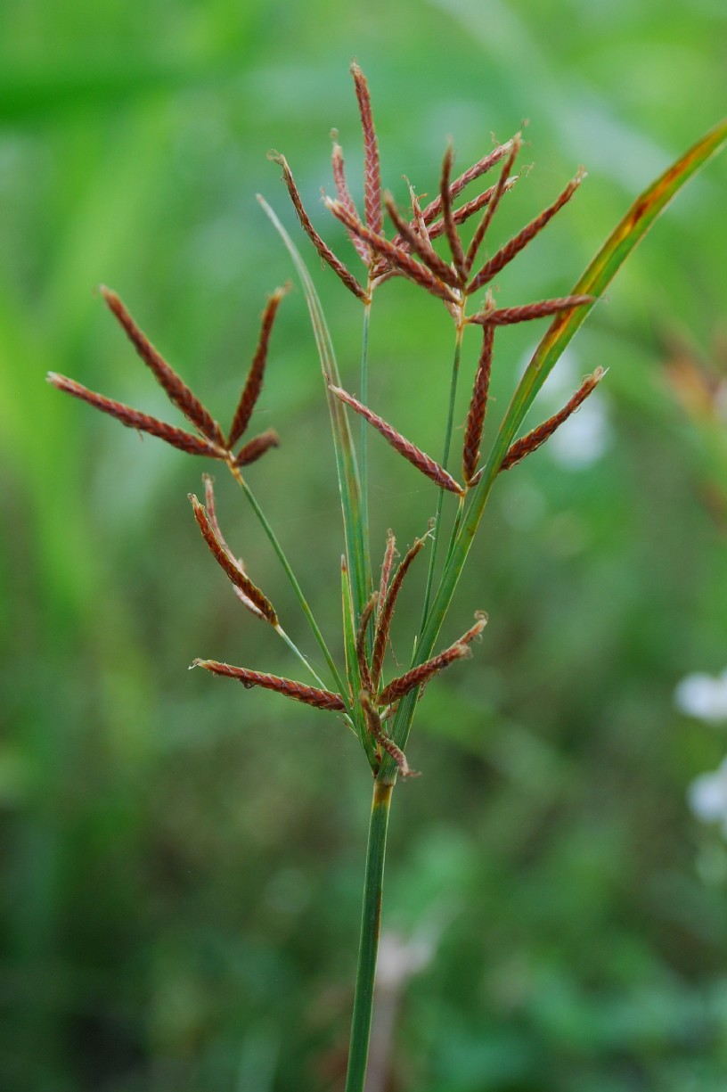 Cyperus longus subsp. longus 10