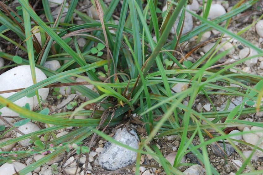 Cyperus longus subsp. longus 11