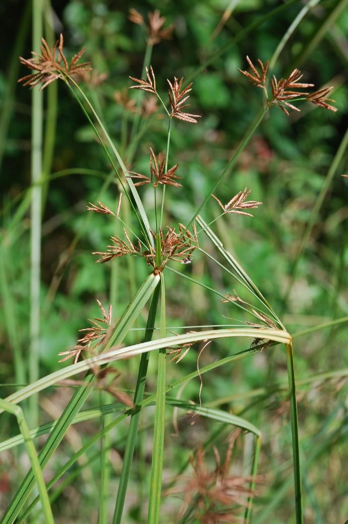 Cyperus longus subsp. longus 6