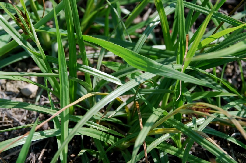 Cyperus rotundus 10