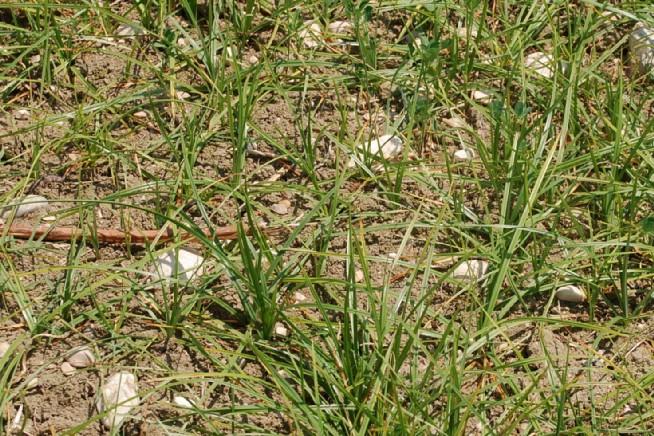 Cyperus rotundus 15