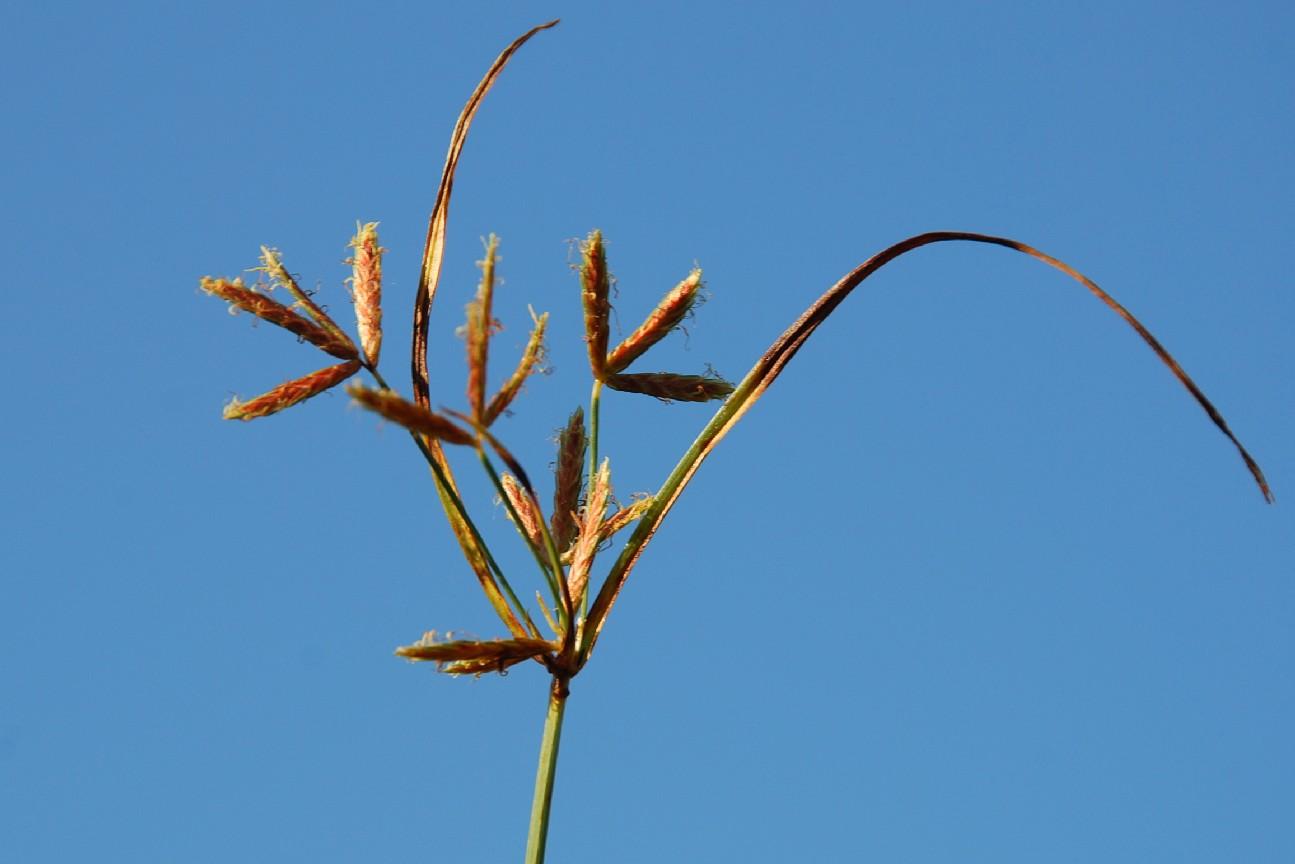 Cyperus rotundus 6