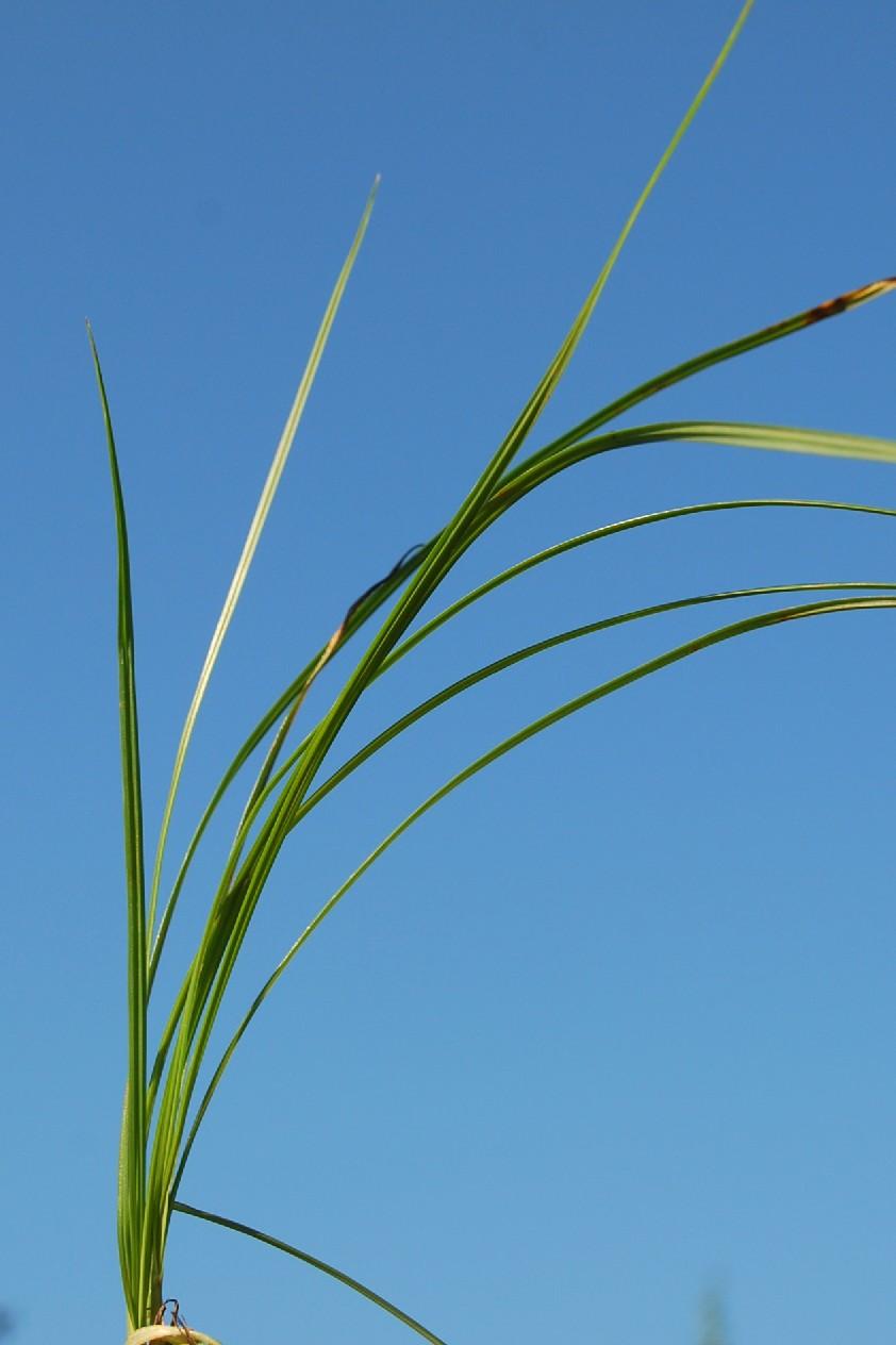 Cyperus rotundus 7