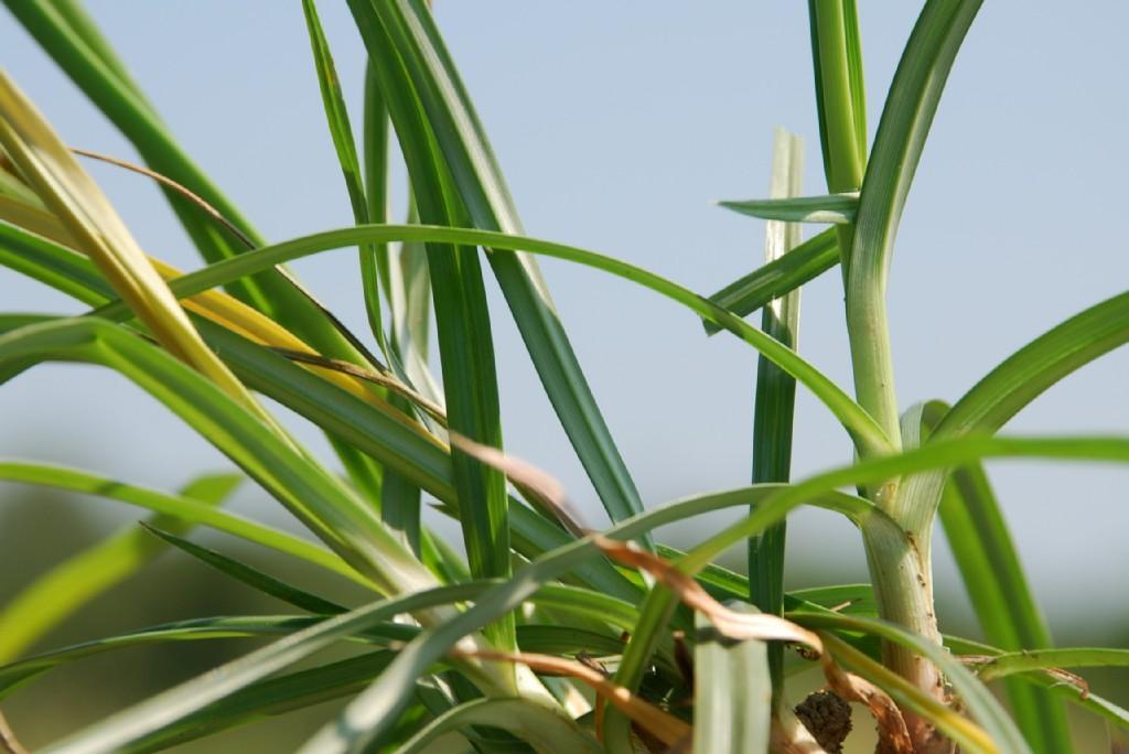 Cyperus rotundus 9