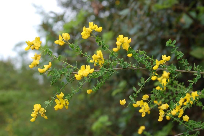 Cytisophyllum sessilifolium