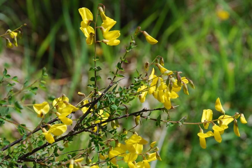 Cytisophyllum sessilifolium 11