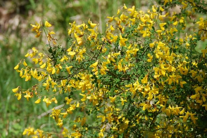 Cytisophyllum sessilifolium 13