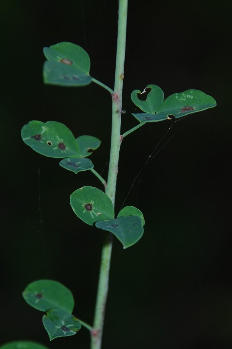 Cytisophyllum sessilifolium 2
