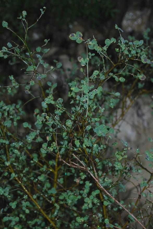 Cytisophyllum sessilifolium 7