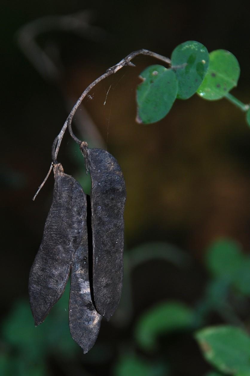 Cytisophyllum sessilifolium 9