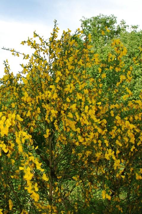 Cytisus scoparius subsp. scoparius 10