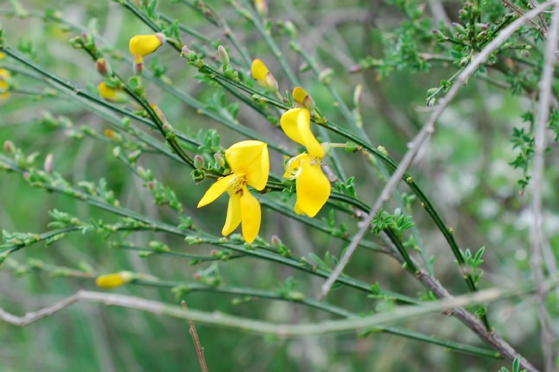 Cytisus scoparius subsp. scoparius 15