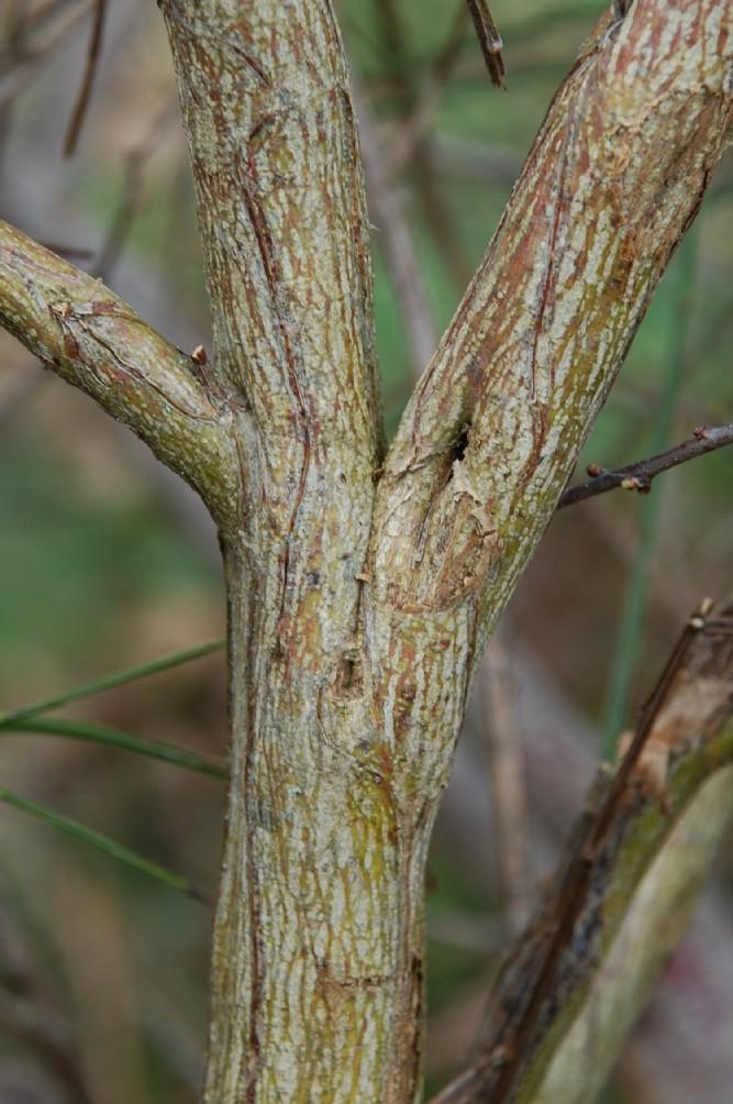 Cytisus scoparius subsp. scoparius 4